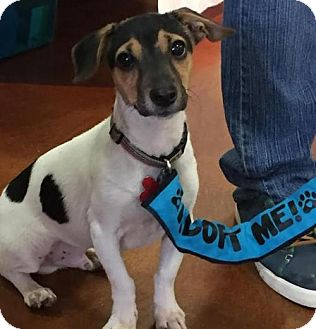Jack Russell Terrier Dog for adoption in Potomac, Maryland - Tommy