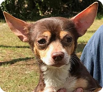 Chihuahua Dog for adoption in Orlando, Florida - Rocko