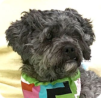 Miniature Poodle Mix Dog for adoption in Evansville, Indiana - Rosevelt