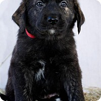 Great Pyrenees Puppy for adoption in Killeen, Texas - Jester