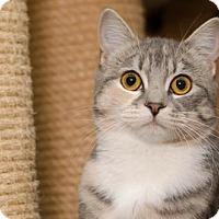 Domestic Shorthair Cat for adoption in Ashland, Massachusetts - Belle (2)