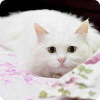 Adopt A Pet :: Amy the Super-Cat - Flagstaff, AZ