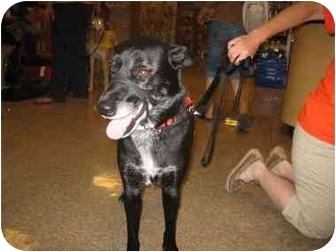 Border Collie Mix Dog for adoption in Scottsdale, Arizona - Phoebe