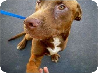 Hound (Unknown Type)/American Pit Bull Terrier Mix Puppy for adoption in Long Beach, California - Beau - Video included!