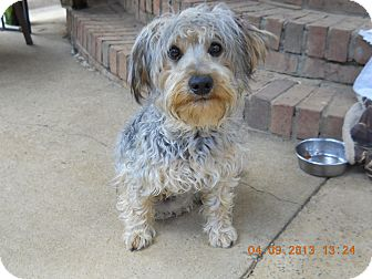 Miniature Schnauzer Mix Dog for adoption in Charlotte, North Carolina - Rocky