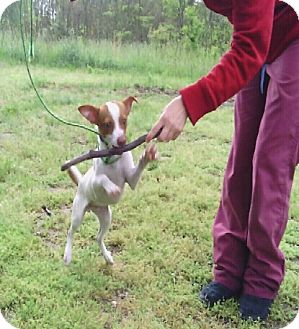 Jack Russell Terrier Mix Dog for adoption in Waldorf, Maryland - Bruno #429