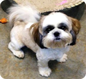 Shih Tzu Dog for adoption in Mooy, Alabama - Prince