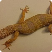 Gecko for adoption in Lake Forest, California - Leopard Gecko #4