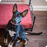 Adopt A Pet :: Sarge - Bedford, TX