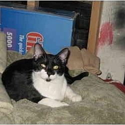Photo 2 - Domestic Shorthair Cat for adoption in Cincinnati, Ohio - Scooter