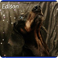 Adopt A Pet :: Edison - Green Cove Springs, FL
