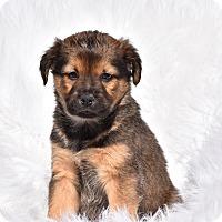 Adopt A Pet :: Nykko - Groton, MA