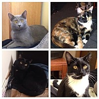 Domestic Shorthair Cat for adoption in New City, New York - Four Kittens