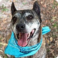 Australian Cattle Dog/Terrier (Unknown Type, Medium) Mix Dog for adoption in Odessa, Florida - Swizzle