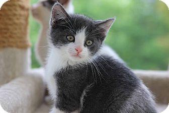 Domestic Shorthair Kitten for adoption in Gainesville, Virginia - Sherman