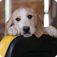 Adopt A Pet :: Robert Redford - Glastonbury, CT
