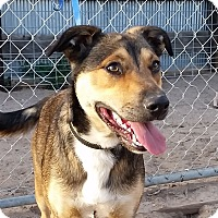 Australian Cattle Dog/American Bulldog Mix Dog for adoption in Greeley, Colorado - Bolt