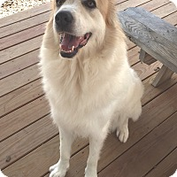 Great Pyrenees Dog for adoption in Pacific, Missouri - Annie