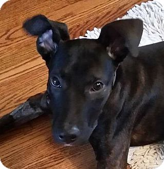 Dutch Shepherd Mix Dog for adoption in Monroe, Michigan - Woody - Adoption Pending