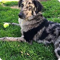 Australian Shepherd/German Shepherd Dog Mix Dog for adoption in Pottstown, Pennsylvania - Doug