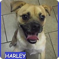Adopt A Pet :: Harley - Batesville, AR
