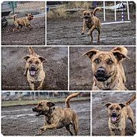 Adopt A Pet :: Tiger (Lilly) - Yreka, CA