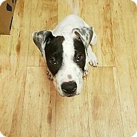 Adopt A Pet :: ZUKO - 12 WEEK CATTLE DOG MIX - Mesa, AZ