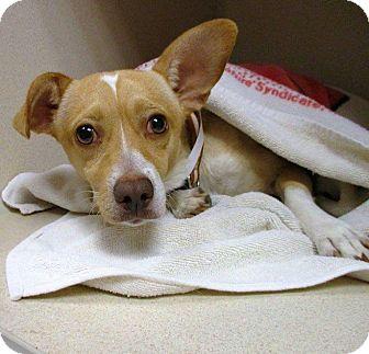 Chihuahua Mix Dog for adoption in Charlotte, North Carolina - Wally