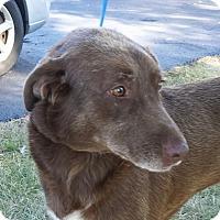 Labrador Retriever Mix Dog for adoption in LaGrange, Kentucky - Ginger