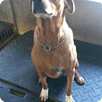 Mastiff/Rottweiler Mix Dog for adoption in Colfax, Illinois - Tanaka