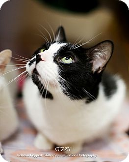 Domestic Shorthair Cat for adoption in Appleton, Wisconsin - Gizzy