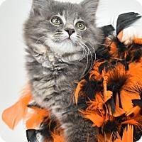 Adopt A Pet :: Katya - St. Louis, MO
