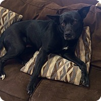 Adopt A Pet :: Amber in CT - Manchester, CT