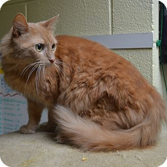 Domestic Mediumhair Cat for adoption in Wheaton, Illinois - Cupcake