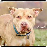 American Pit Bull Terrier Mix Dog for adoption in Zanesville, Ohio - Mickey - Urgent!