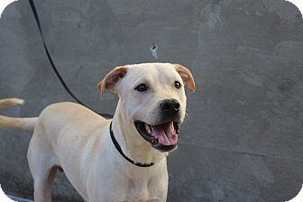 Labrador Retriever Mix Dog for adoption in Middlebury, Connecticut - Benny