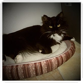Maine Coon Cat for adoption in Medford, Wisconsin - GAVIN