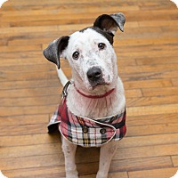 Pit Bull Terrier Mix Dog for adoption in Washington, D.C. - Harriet