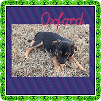 Adopt A Pet :: OXFORD, SCOOBA AND JACKSON - KITTERY, ME