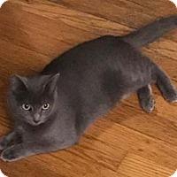 Adopt A Pet :: Osono - Merrifield, VA