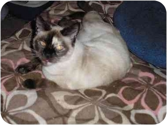 Siamese Cat for adoption in Everett, Washington - Twiggy