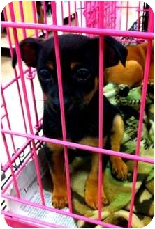 Chihuahua/Dachshund Mix Puppy for adoption in Fowler, California - Trina