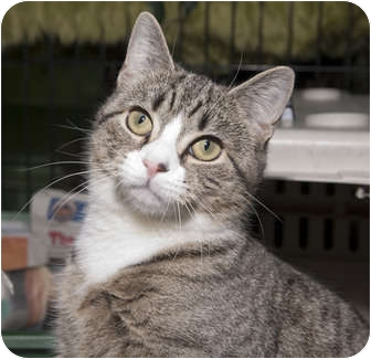 Domestic Shorthair Cat for adoption in New York, New York - Sonya