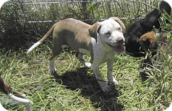 American Bulldog/Pointer Mix Dog for adoption in Copperas Cove, Texas - Josie
