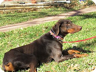 Doberman Pinscher Dog for adoption in killeen, Texas - Rosie