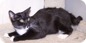 Domestic Shorthair Cat for adoption in Colorado Springs, Colorado - K-Emery3-Matlock