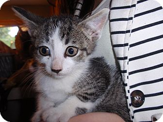 Domestic Shorthair Kitten for adoption in East Brunswick, New Jersey - Ruby