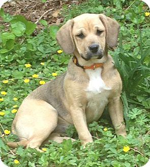 Labrador Retriever/Cocker Spaniel Mix Puppy for adoption in Media ...