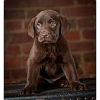 Adopt A Pet :: Louise - Owensboro, KY