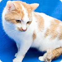 Adopt A Pet :: Angel aka Poncho (declawed) - Warren, MI